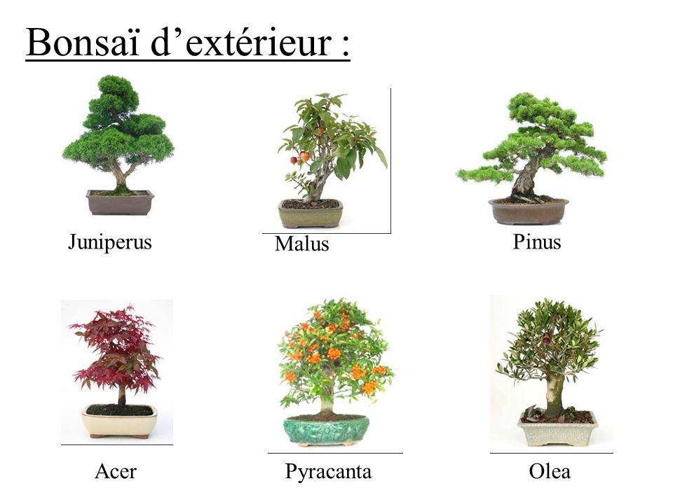 Bonsaï d'extérieur : Juniperus Malus Pinus Acer Pyracanta Olea