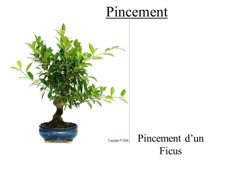 Pincement Pincement d'un Ficus