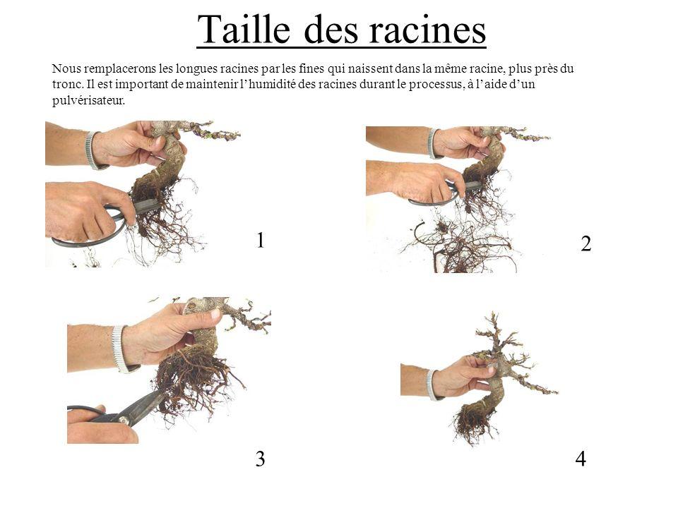 Taille des racines