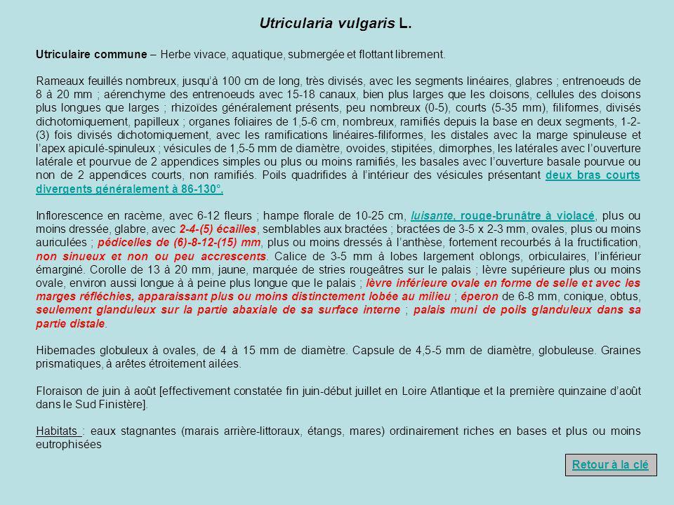 Utricularia vulgaris L.