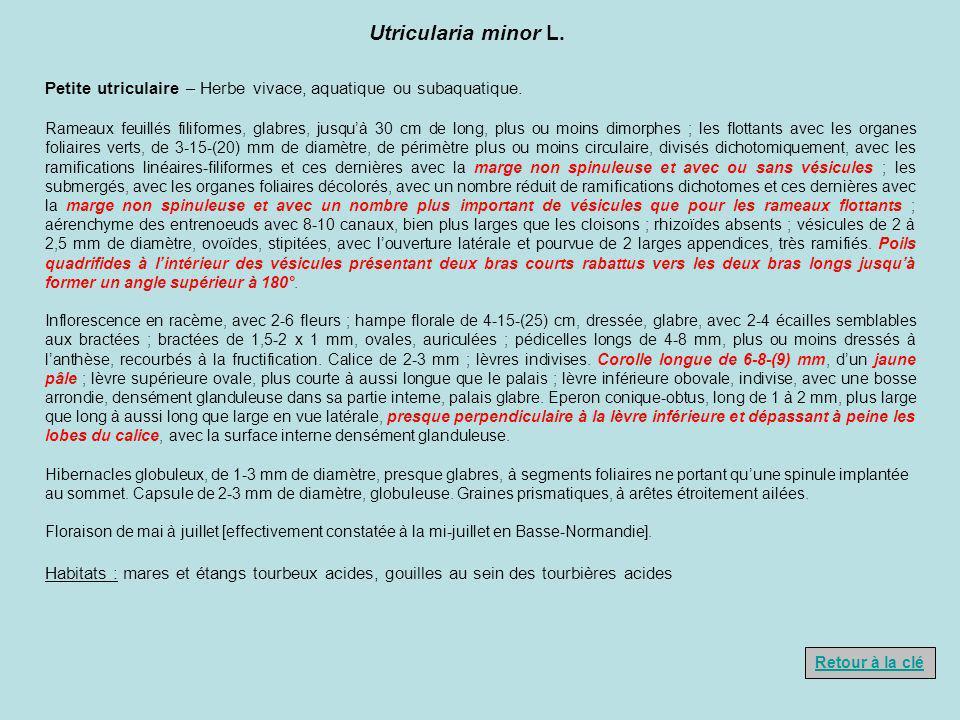 Utricularia minor L. Petite utriculaire – Herbe vivace, aquatique ou subaquatique.