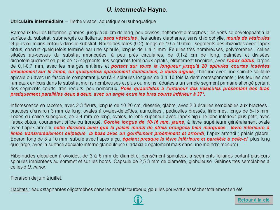 U. intermedia Hayne. Utriculaire intermédiaire – Herbe vivace, aquatique ou subaquatique.