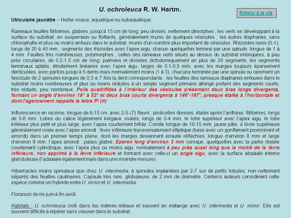 U. ochroleuca R. W. Hartm. Retour à la clé