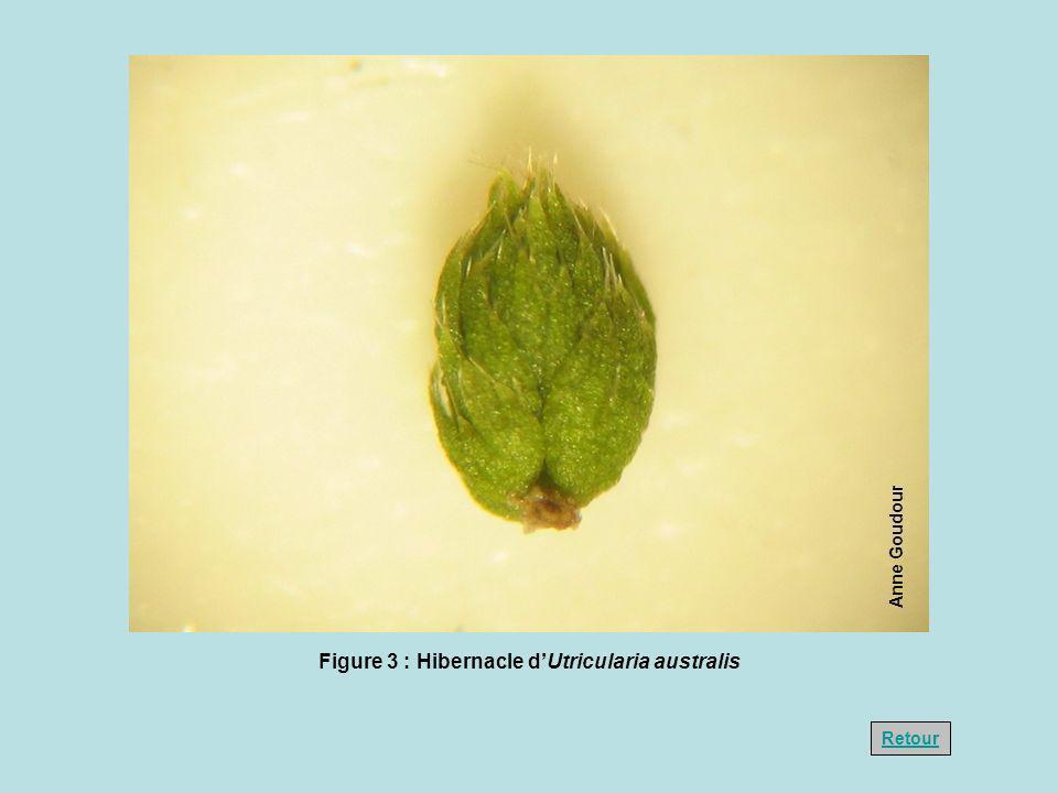 Figure 3 : Hibernacle d'Utricularia australis