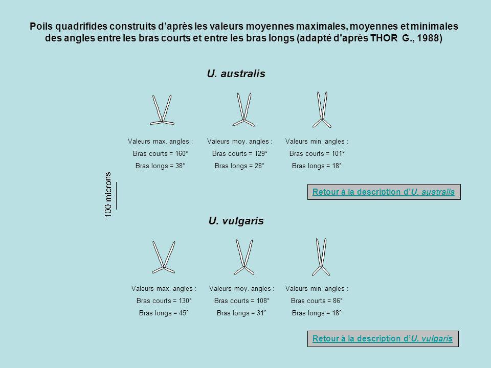 Poils quadrifides construits d'après les valeurs moyennes maximales, moyennes et minimales des angles entre les bras courts et entre les bras longs (adapté d'après THOR G., 1988)