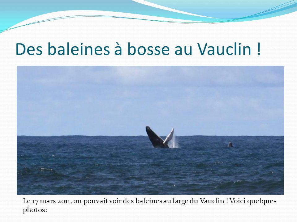 Des baleines à bosse au Vauclin !