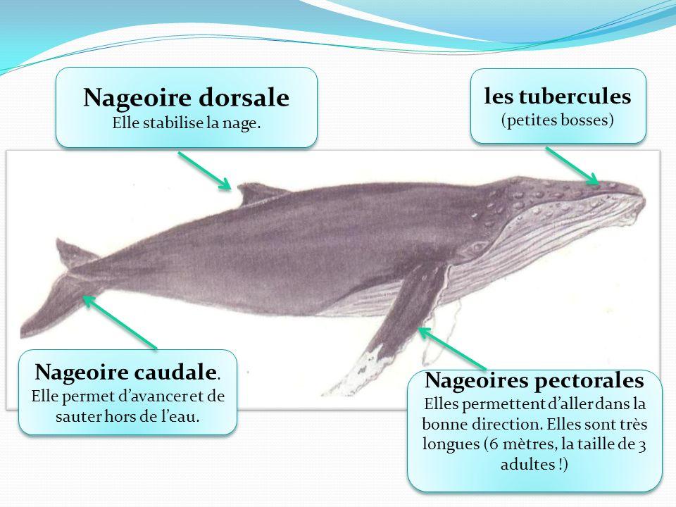 Nageoire dorsale les tubercules (petites bosses) Nageoire caudale.