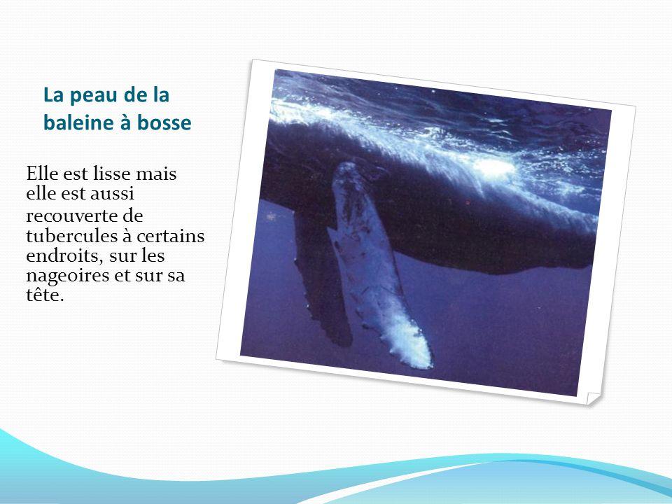 La peau de la baleine à bosse