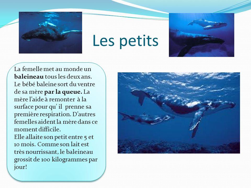 Les petits La femelle met au monde un baleineau tous les deux ans.