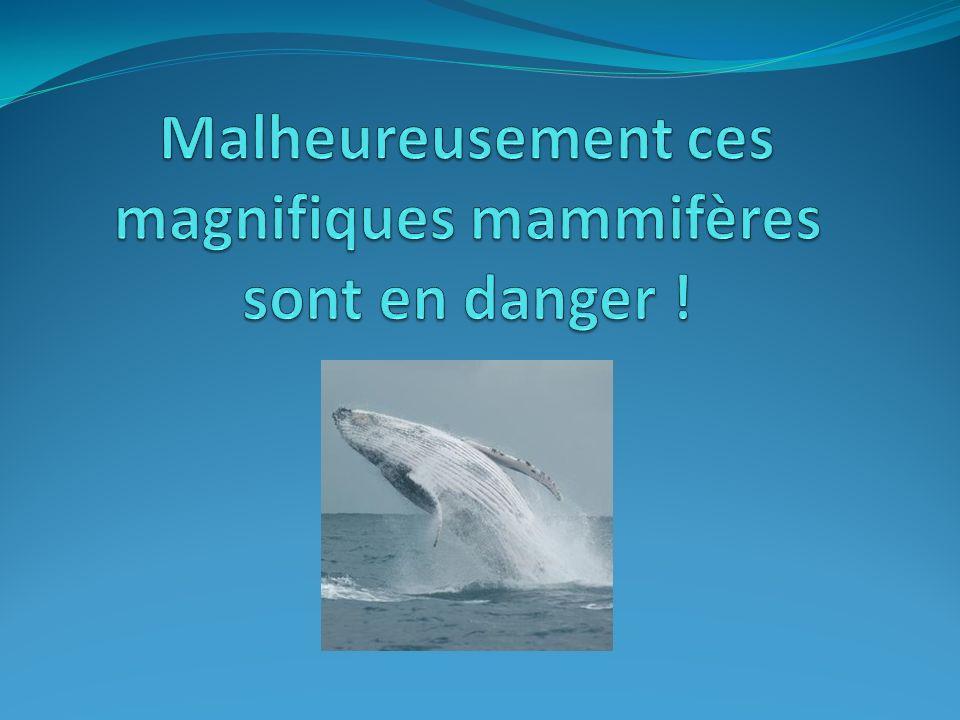 Malheureusement ces magnifiques mammifères sont en danger !
