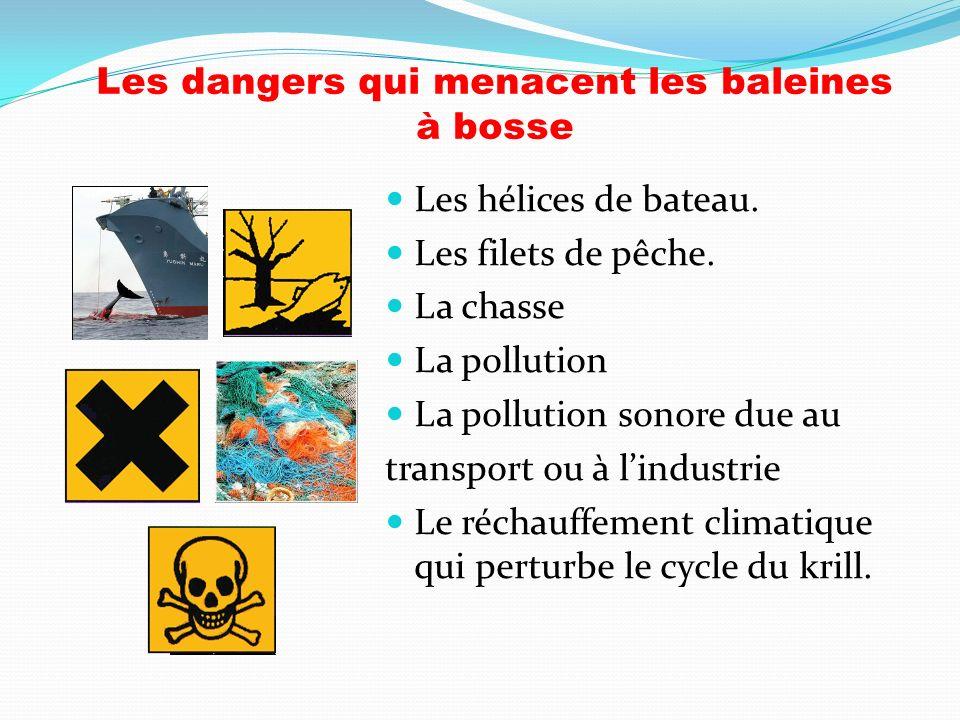 Les dangers qui menacent les baleines à bosse
