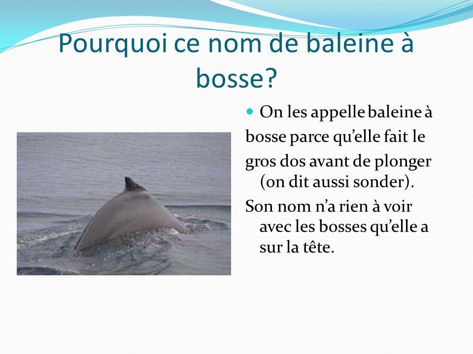 Pourquoi ce nom de baleine à bosse