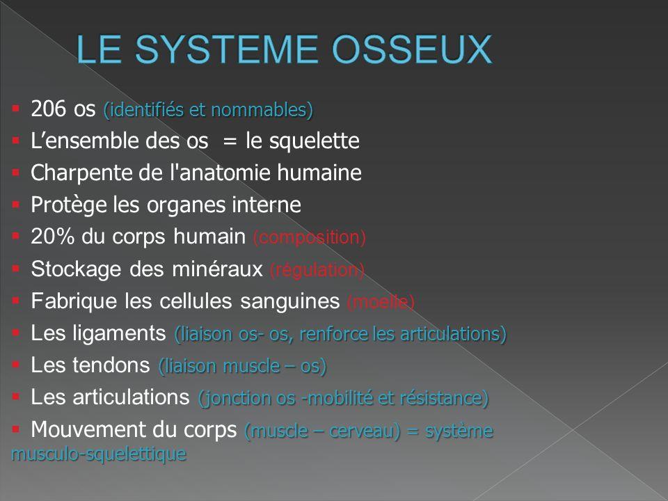 LE SYSTEME OSSEUX 206 os (identifiés et nommables)