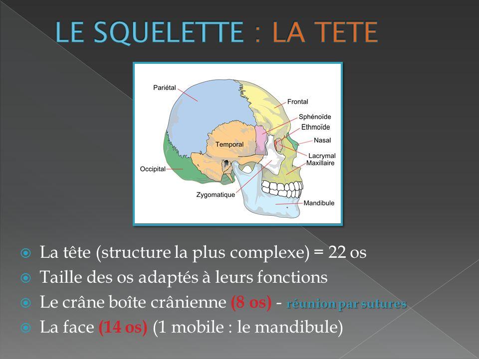 LE SQUELETTE : LA TETE La tête (structure la plus complexe) = 22 os