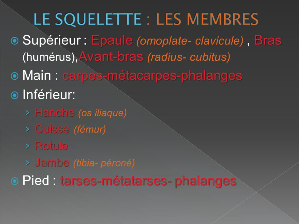 LE SQUELETTE : LES MEMBRES