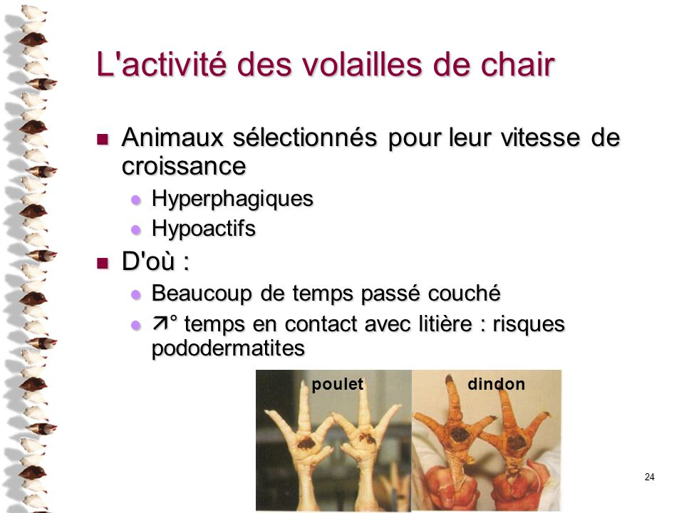 L activité des volailles de chair