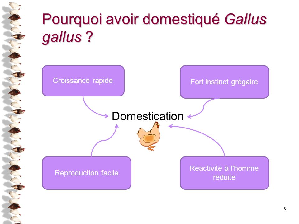 Pourquoi avoir domestiqué Gallus gallus