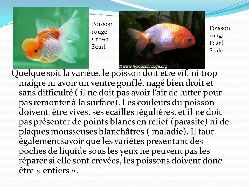 Poisson rouge Crown Pearl