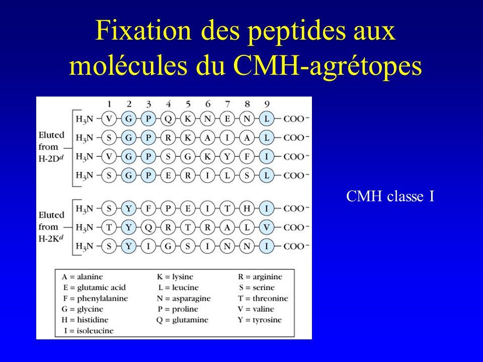 Fixation des peptides aux molécules du CMH-agrétopes