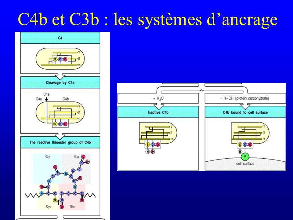 C4b et C3b : les systèmes d'ancrage