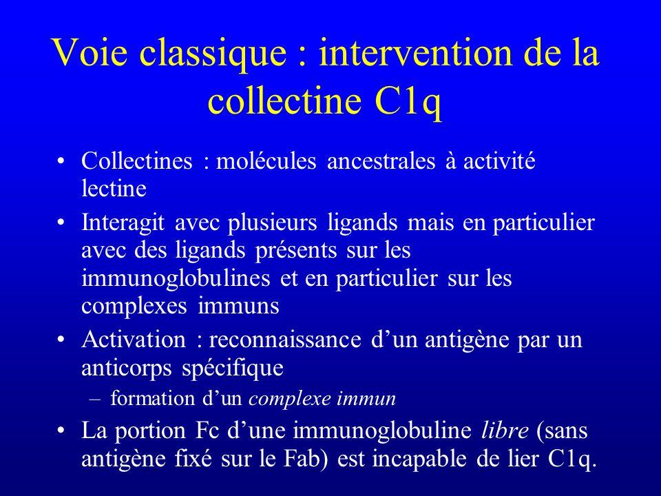Voie classique : intervention de la collectine C1q