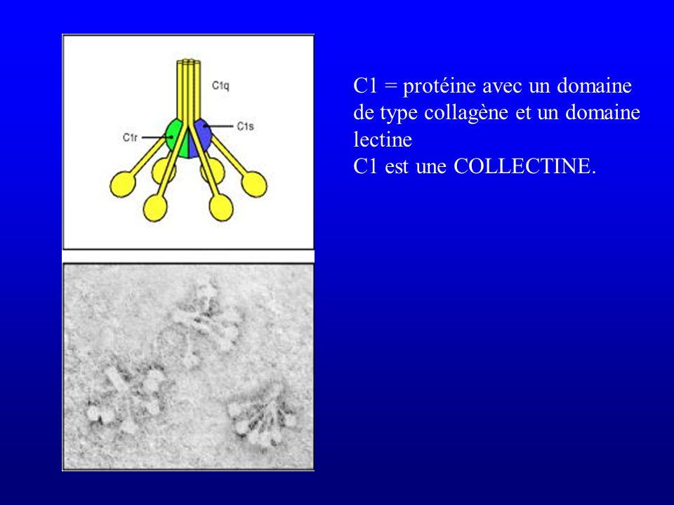 C1 = protéine avec un domaine de type collagène et un domaine lectine