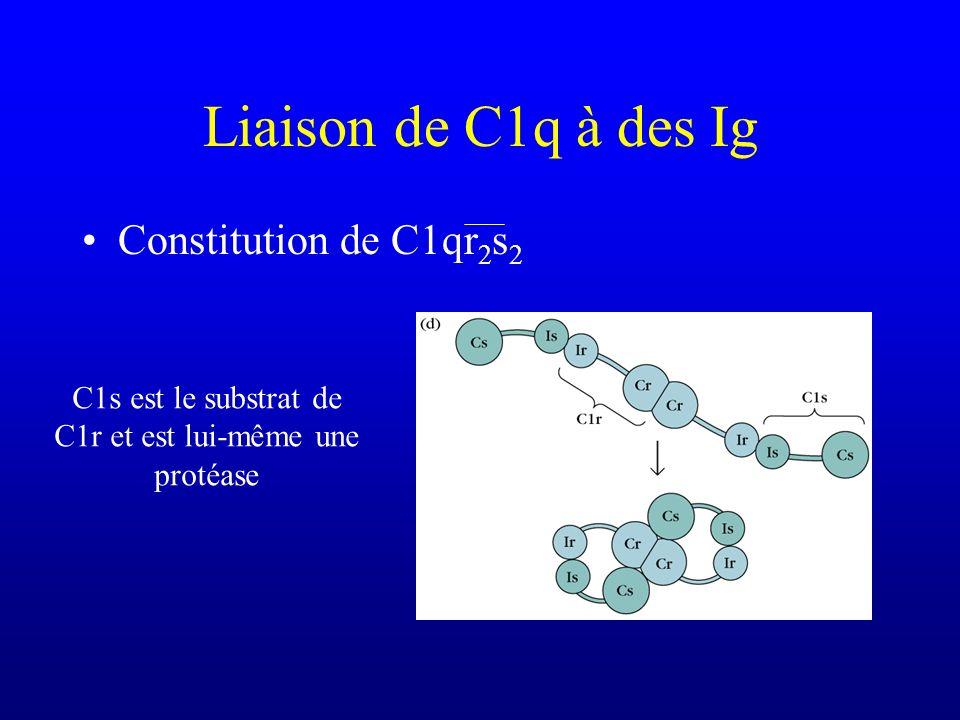 C1s est le substrat de C1r et est lui-même une protéase