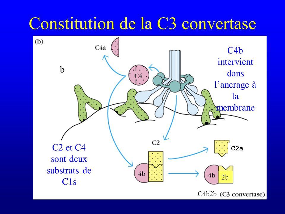 Constitution de la C3 convertase