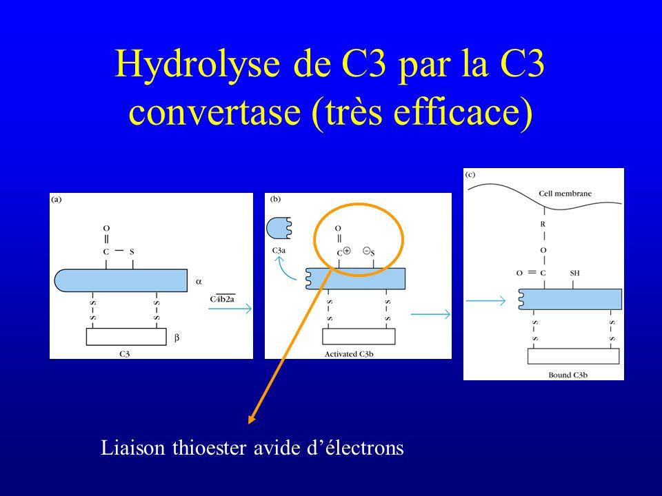Hydrolyse de C3 par la C3 convertase (très efficace)