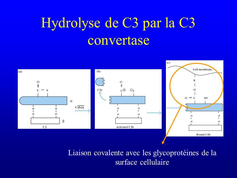 Hydrolyse de C3 par la C3 convertase