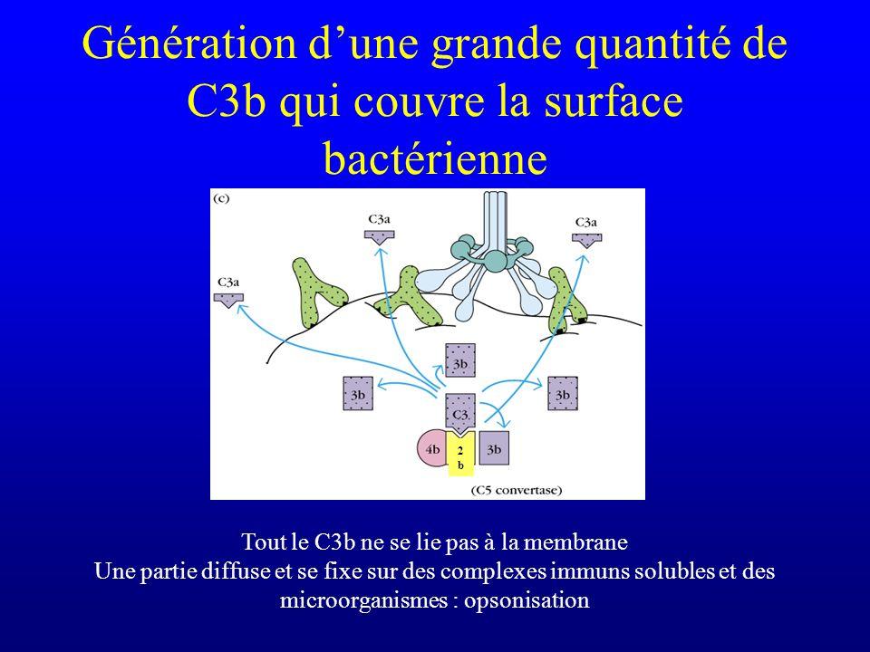 Tout le C3b ne se lie pas à la membrane