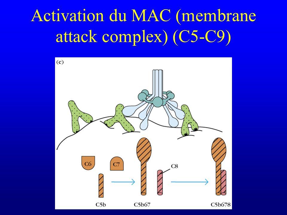 Activation du MAC (membrane attack complex) (C5-C9)