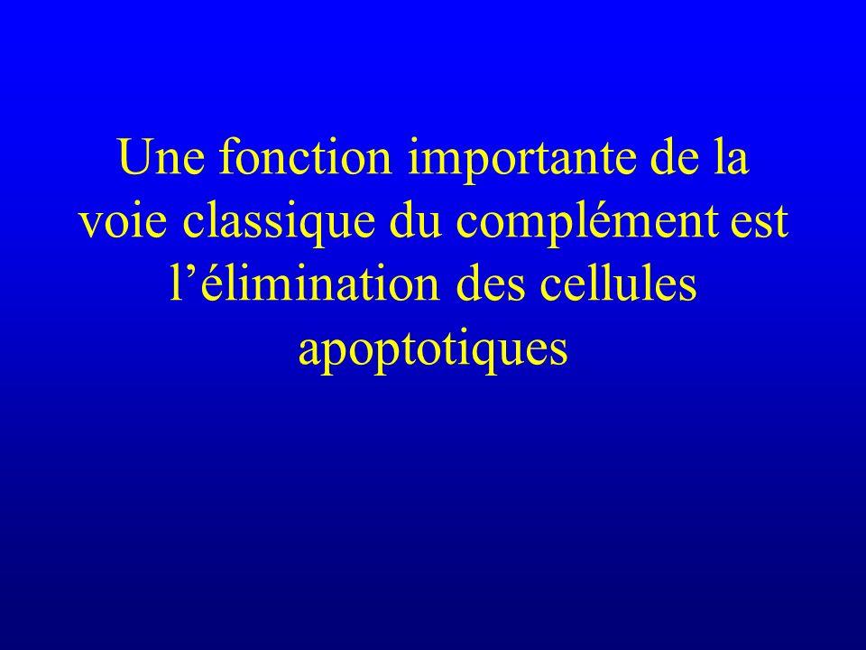 Une fonction importante de la voie classique du complément est l'élimination des cellules apoptotiques