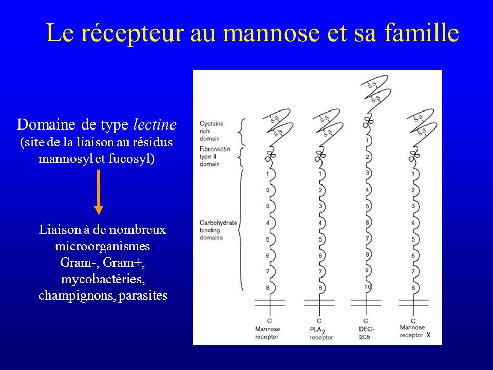 Le récepteur au mannose et sa famille