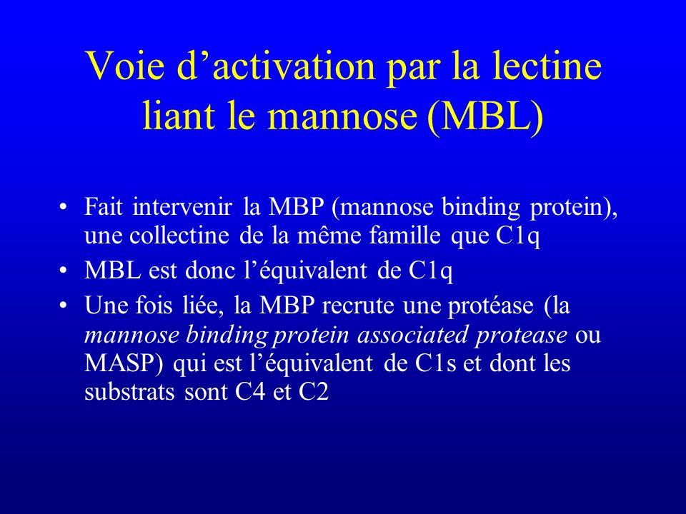 Voie d'activation par la lectine liant le mannose (MBL)
