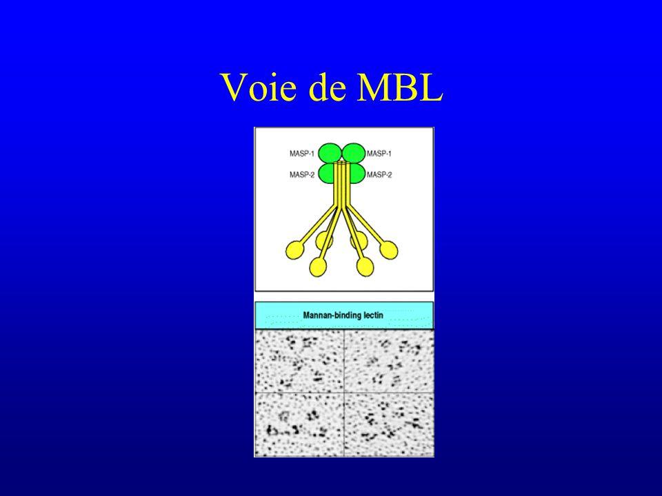 Voie de MBL