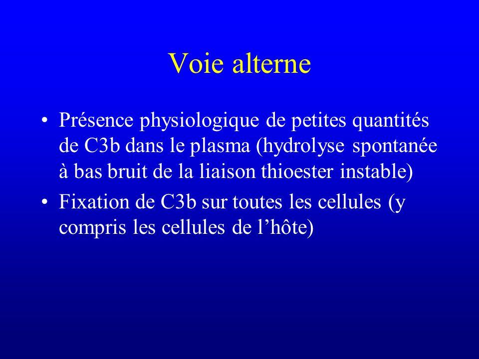 Voie alterne Présence physiologique de petites quantités de C3b dans le plasma (hydrolyse spontanée à bas bruit de la liaison thioester instable)