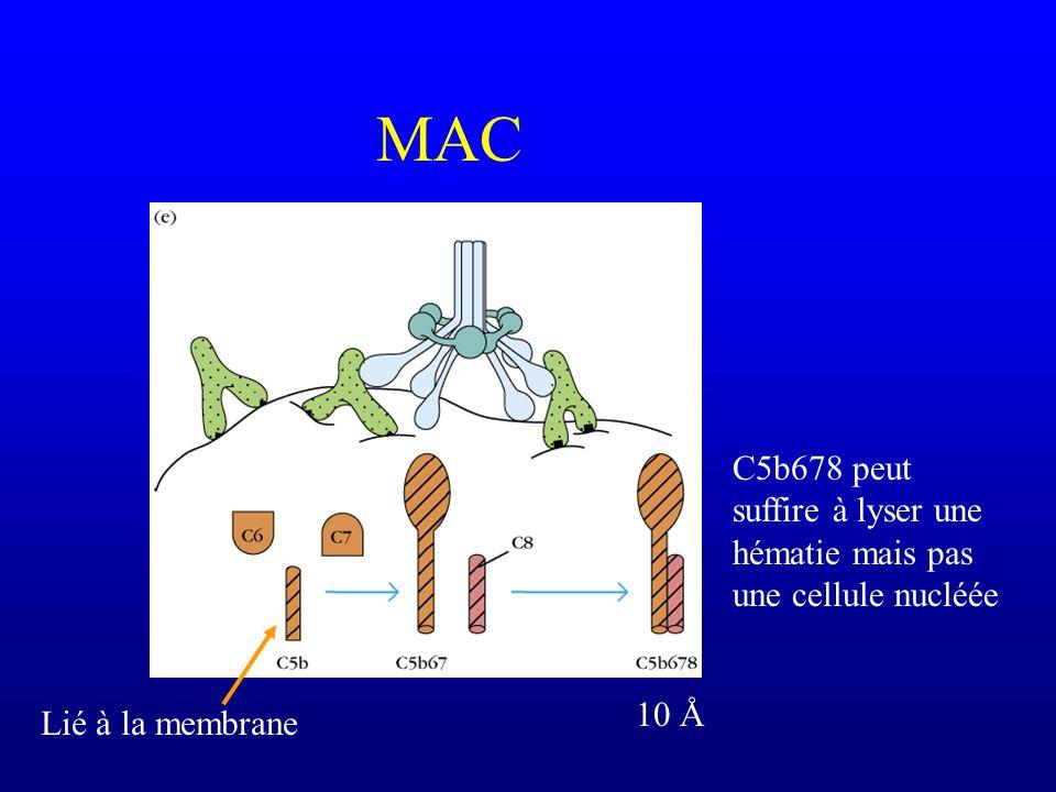 MAC C5b678 peut suffire à lyser une hématie mais pas une cellule nucléée 10 Å Lié à la membrane