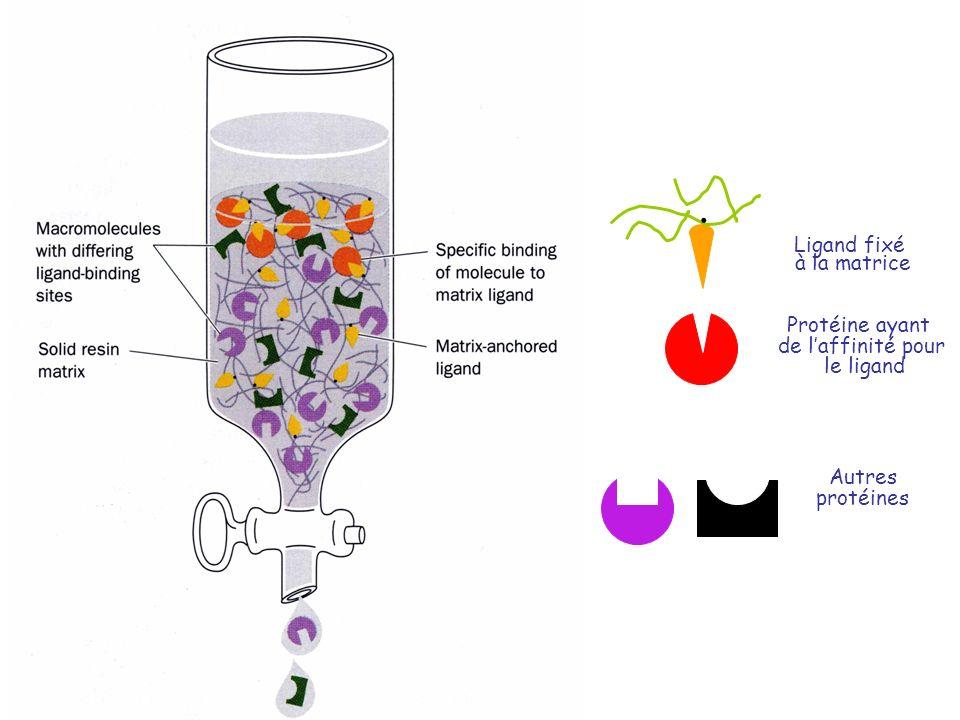 . Ligand fixé à la matrice Protéine ayant de l'affinité pour le ligand