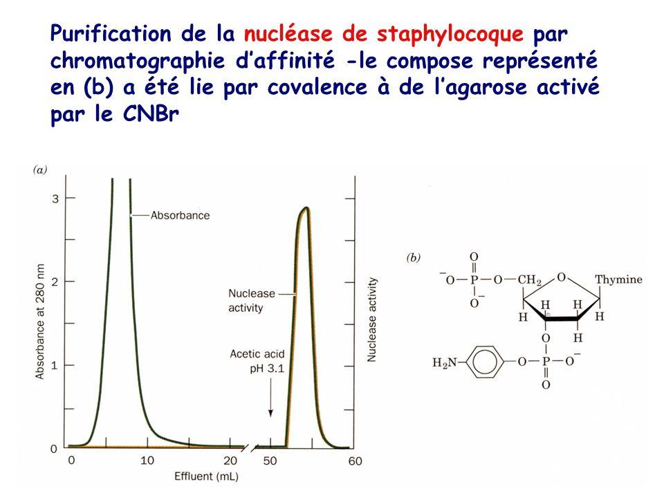 Purification de la nucléase de staphylocoque par chromatographie d'affinité -le compose représenté en (b) a été lie par covalence à de l'agarose activé par le CNBr