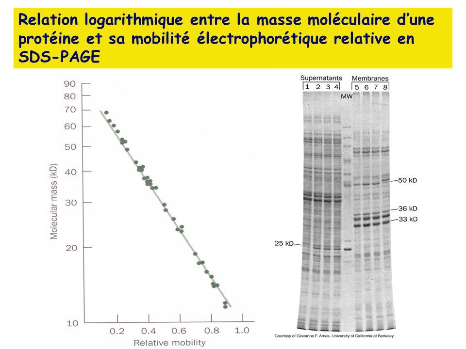 Relation logarithmique entre la masse moléculaire d'une protéine et sa mobilité électrophorétique relative en SDS-PAGE
