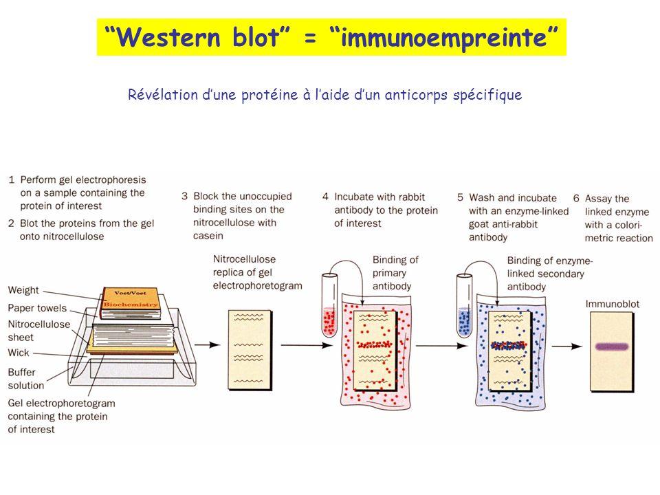 Western blot = immunoempreinte