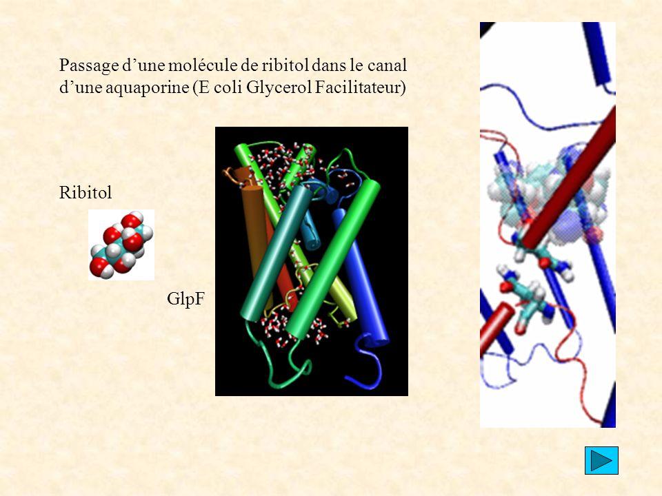 Passage d'une molécule de ribitol dans le canal d'une aquaporine (E coli Glycerol Facilitateur)