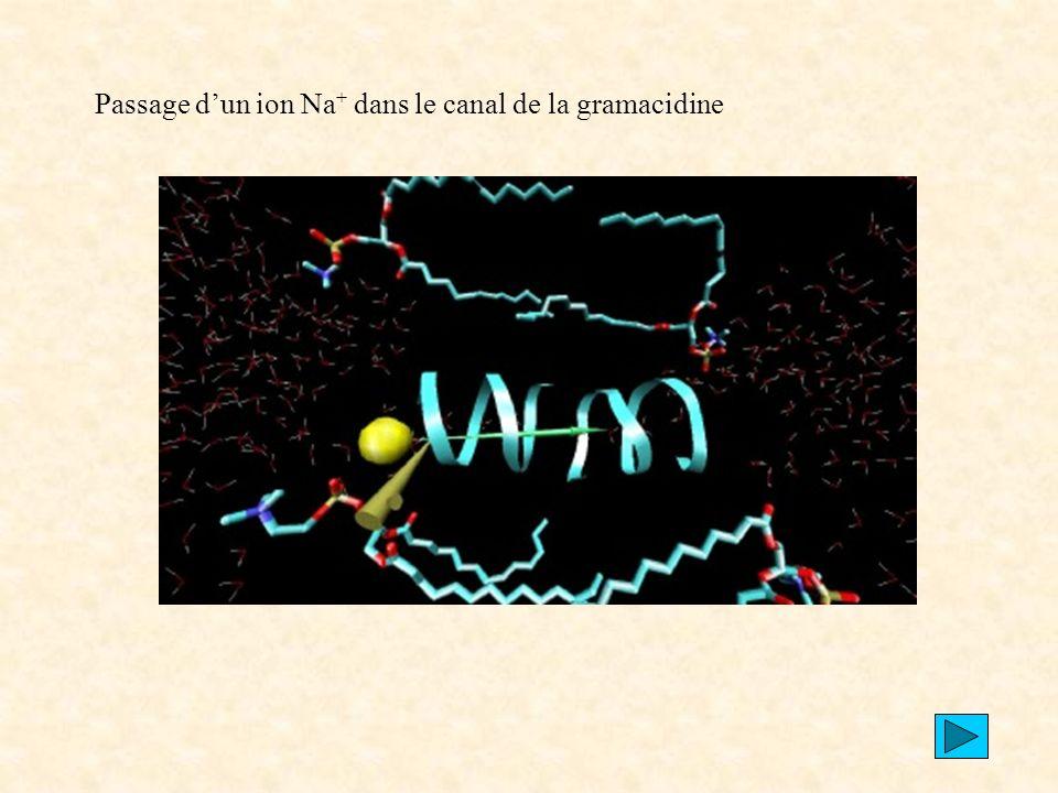 Passage d'un ion Na+ dans le canal de la gramacidine