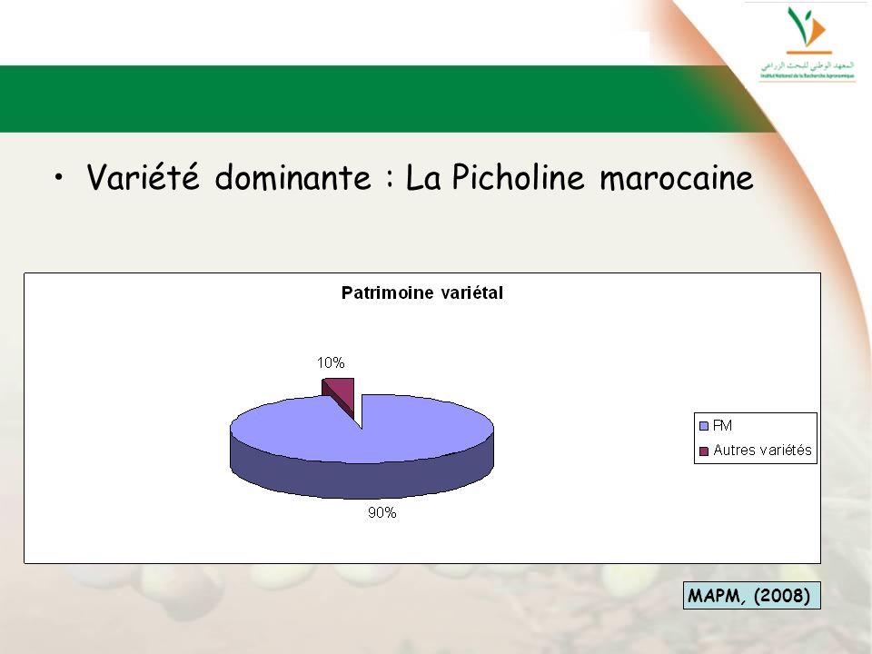 Variété dominante : La Picholine marocaine