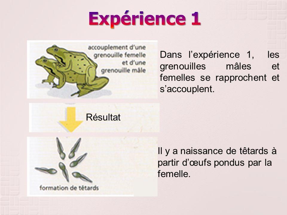 Expérience 1 Dans l'expérience 1, les grenouilles mâles et femelles se rapprochent et s'accouplent.