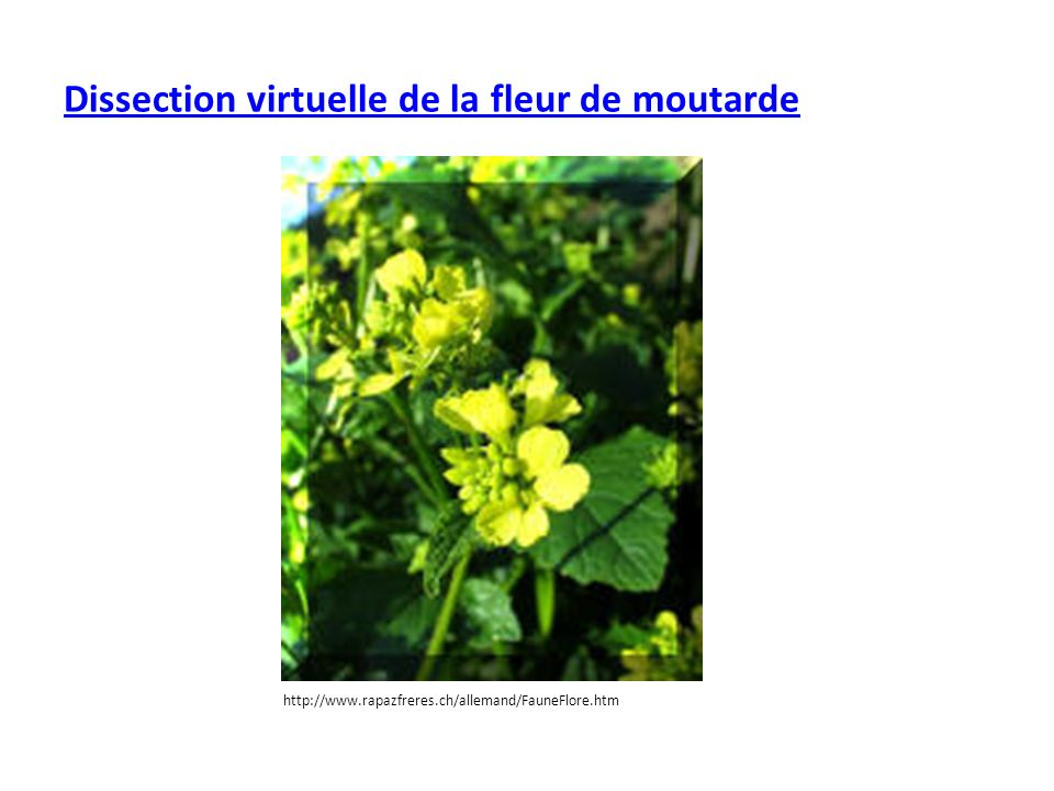 Dissection virtuelle de la fleur de moutarde