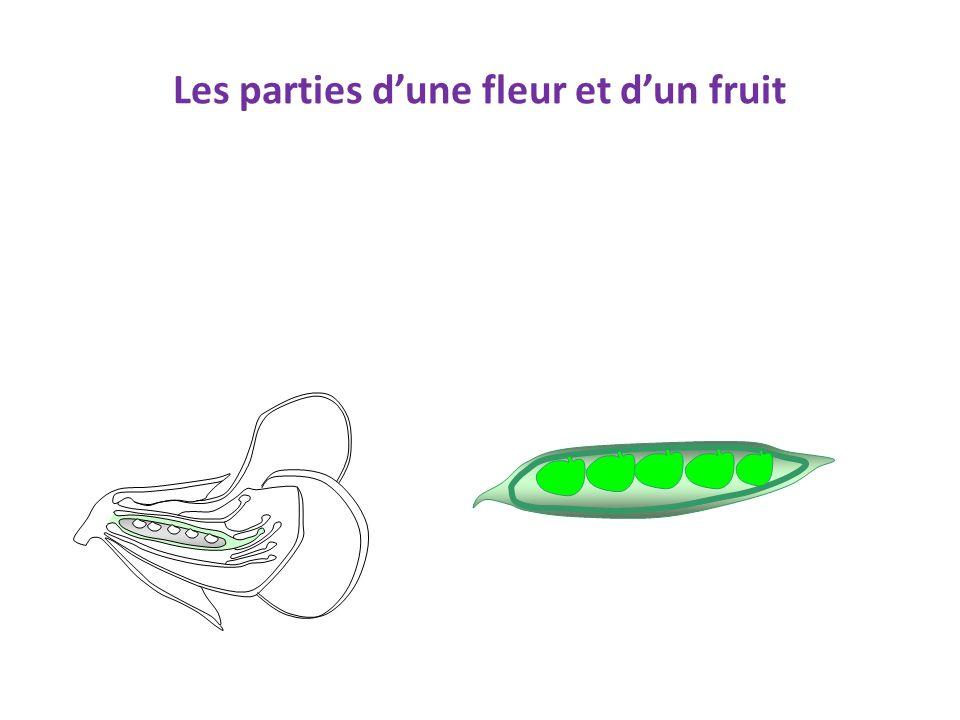 Les parties d'une fleur et d'un fruit