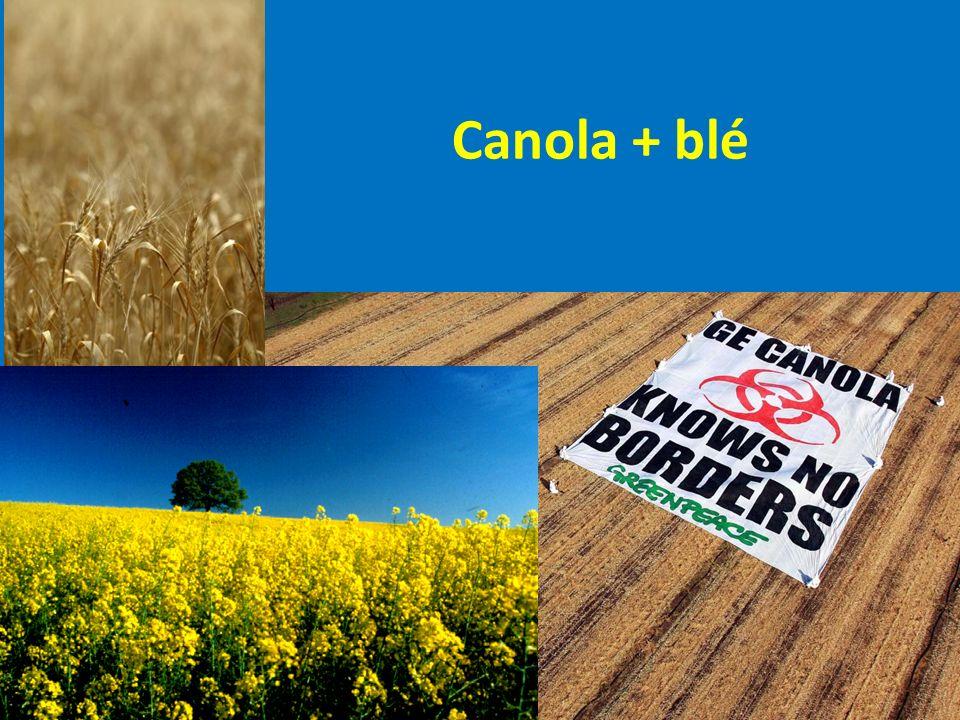 Canola + blé
