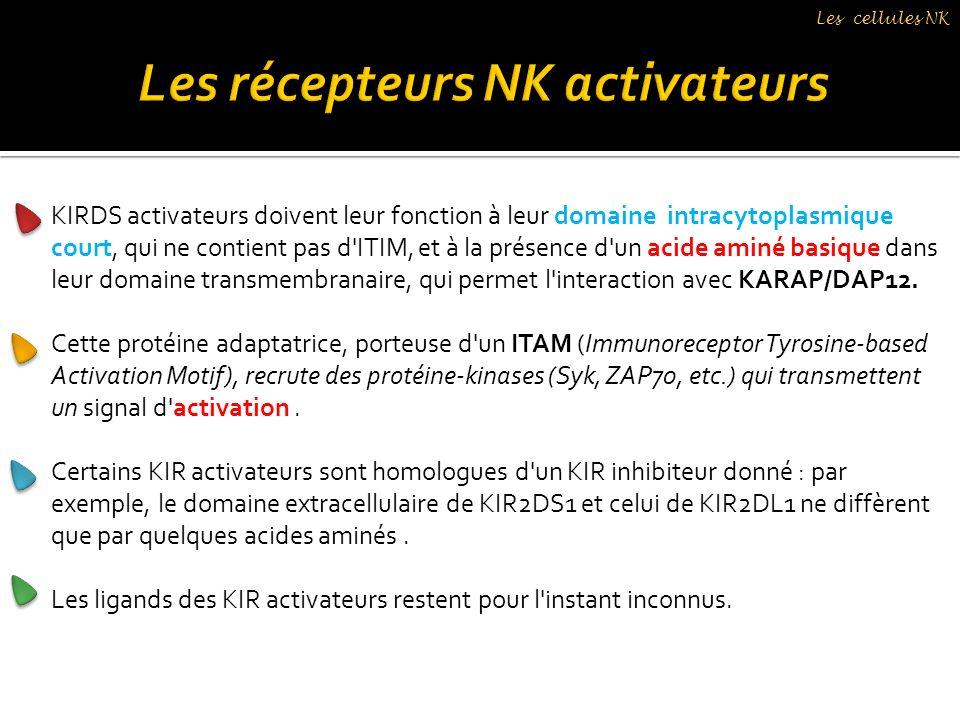 Les récepteurs NK activateurs